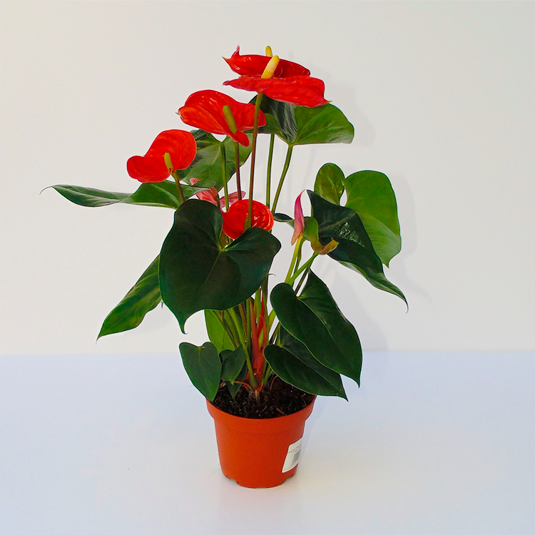 "Anthurium ""Red Winner"""