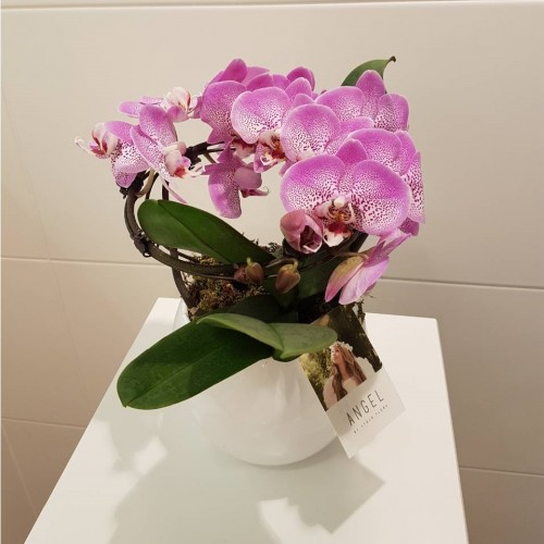 "Phalaenopsis ""Angel"""