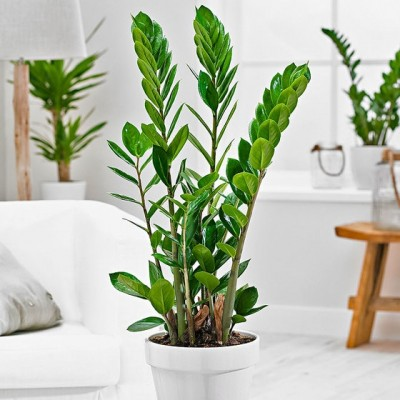 Buy a Dollar Tree (Zamioculcas) in Minsk and Grodno