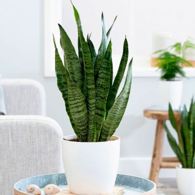 Buy Snake tongue, jinn's tongue, mother-in-law's tongue, devil's tongue, (Sansevieria) in Minsk and Grodno